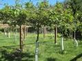 organic-kiwi-orchard.jpg