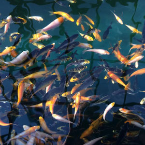 Koi fish ponds and aquariums for Japanese koi fry for sale